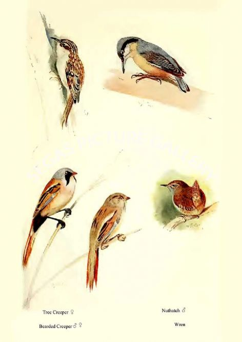 Fine art print of the Tree Creeper, Bearded Reedling, Nuthatch & Wren by William Foster (1922)